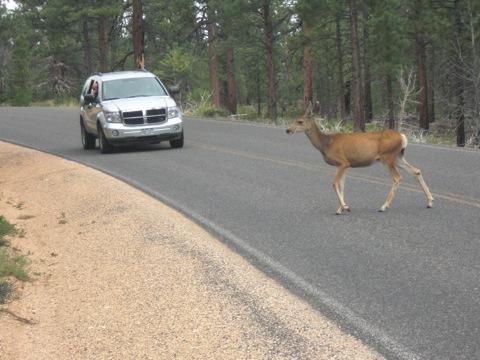 Hert op stap op de snelweg A12