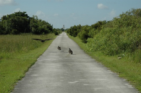 roofvogels in everglades