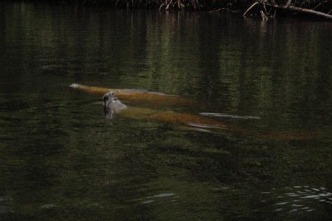 zeekoe of manatee