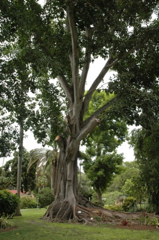 boom in tuin van thomas edison